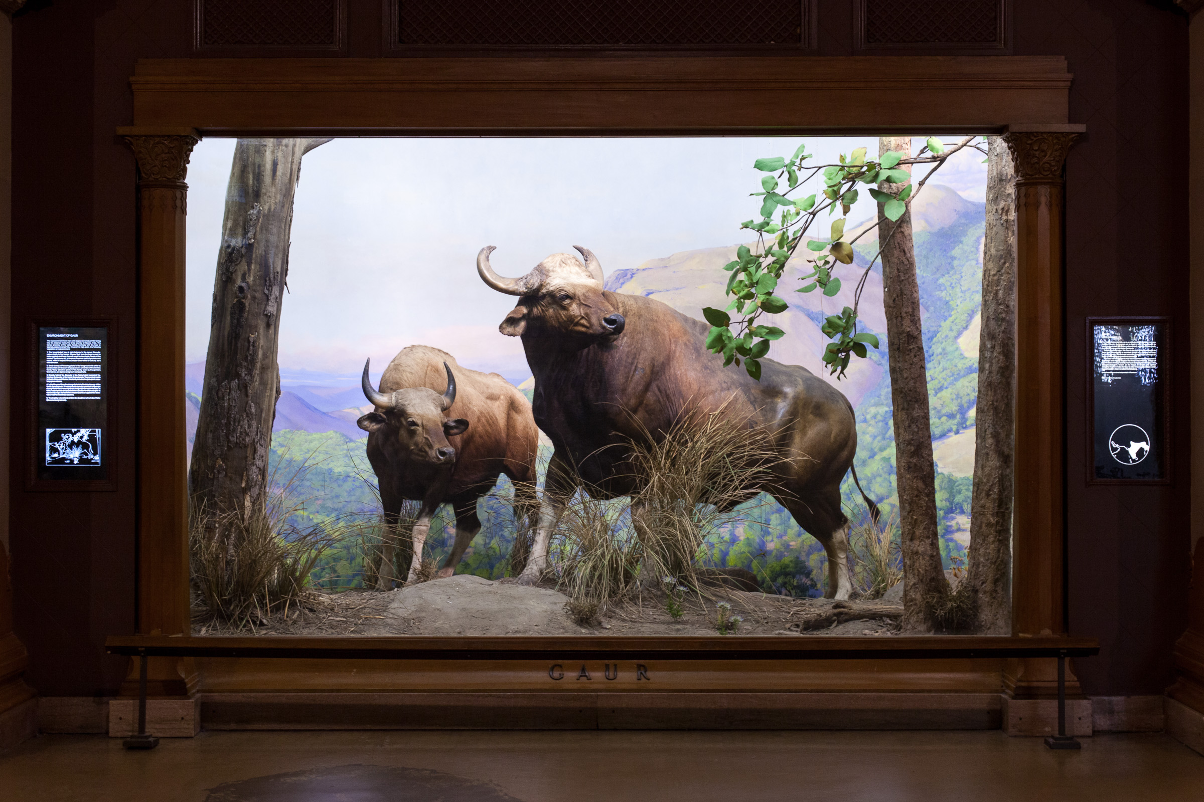 Gaur Diorama in the American Museum of natural History