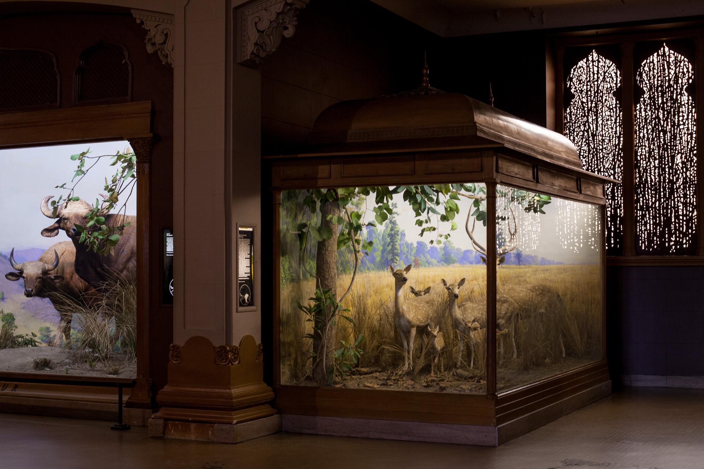 Deer Diorama in the American Museum of natural History