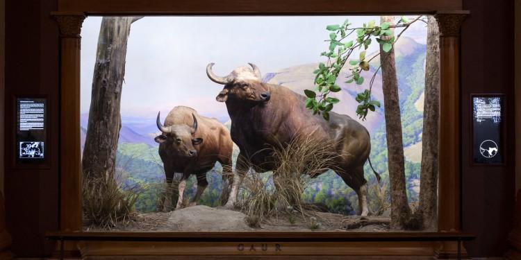Gaur Diorama in the American Museum of natural History