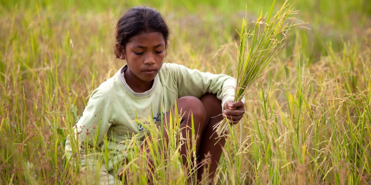 A young girl harvests rice in a paddy near Zumalai in East Timor.