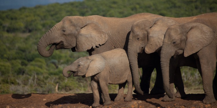 Elephants at an artificial watering hole in Addo Elephant Park.  The Park is more than one and half thousand square kilometers and supports an elephant population in excess of 600 animals.