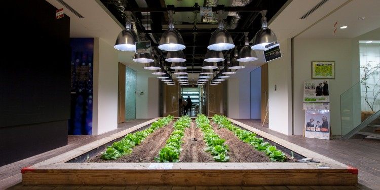 Vegetables growing under halogen lamps in Pasona 02
