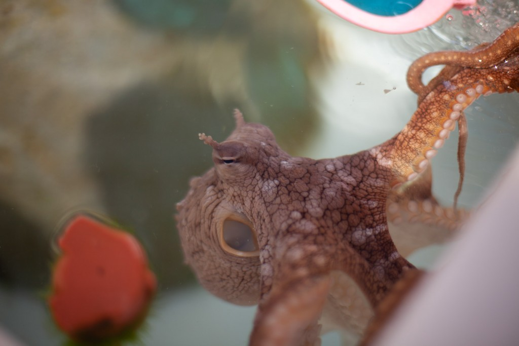 An octopus at Kanaloa Octopus Farm