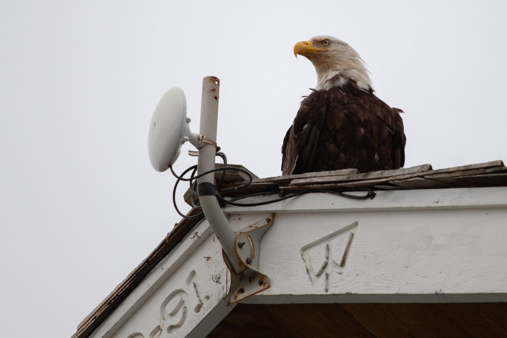 Bald Eagle on the gable at Mike and Wendy's place. Benjamin Franklin regretted the adoption if the bald eagle as a symbol of the new republic - calling it 'a bird of bad moral character'.