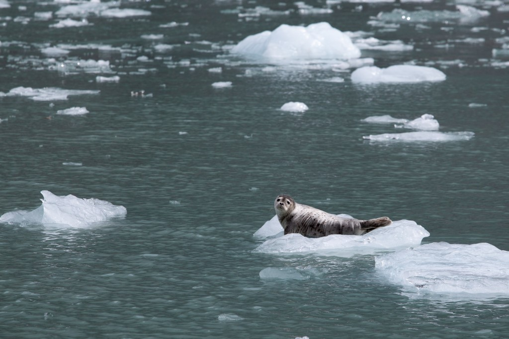 Being spotted by a Spotted Seal in Northwestern Fjord.