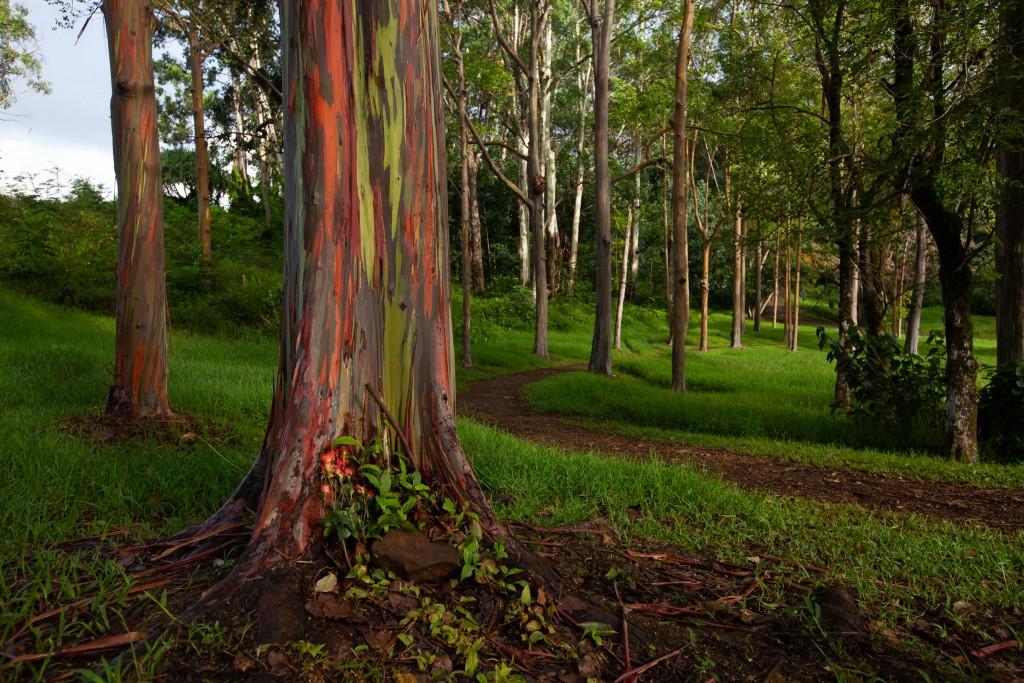 Eucalyptus deglupta (Rainbow eucalyptus)