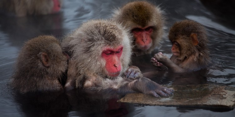 Japanese macaques live in matrilineal societies with each troop averaging about 41 individuals. In some ways the brains of macaques show more similarities to our own than those of apes and chimpanzees.