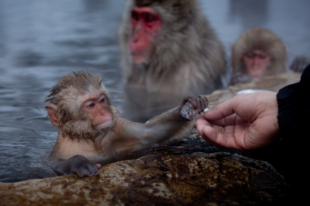 A baby Japanese macaque reaches for a piece of ice. During winter the monkeys spend most of their day inside the thermal baths. Apart from humans no other primate is known to live in such a cold climate.