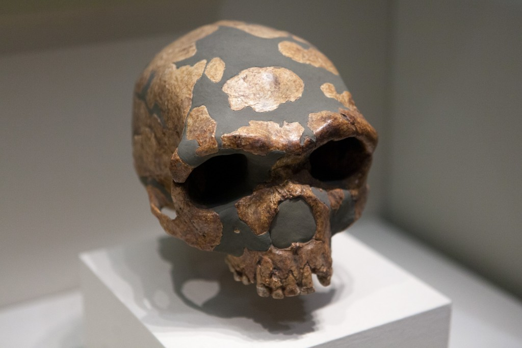 A skull on display at the National Museum of China in Beijing. Jinniushan man was excavated in 1984 from a collapsed limestone cave in China's  Liaoning Provence. It represents a transitional stage of human evolution somewhere combining features of Homo erectus and homo sapiens.